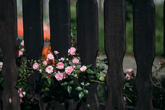 Roses growing through a wooden fence