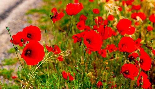 Spanish Road side Poppy's ..