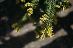 New growth on a conifer