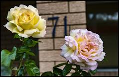 Peace Rose- Peace Rose I love you-1=