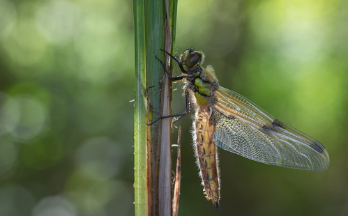 Four spotted Dragonfly