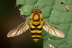 Syrphus sp Fly - Oklahoma
