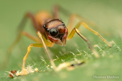 Synemosyna sp Female - Ant-Mimicking Jumping Spider - Oklahoma