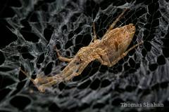 Uloborus - Feather-legged Spider - Oklahoma