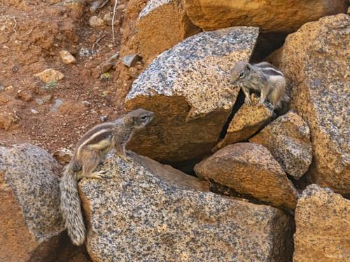 Fuerteventura - Atlantoxerus getulus
