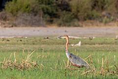 Goliathreiher / Goliath heron