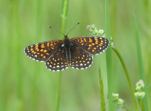 False Heath Fritillary (Melitaea diamina)