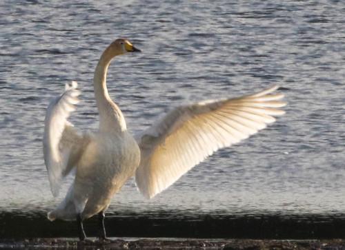 Singschwan im Juni...; Whooper Swan (Cygnus cygnus)