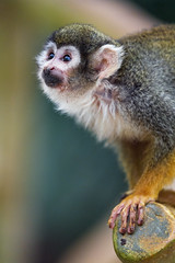 Curious squirrel monkey