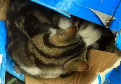Kitten sleeping a wrecked cardboard box.