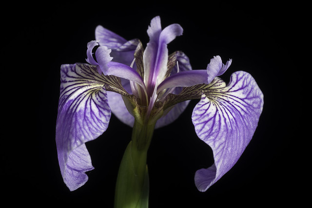 Photo:Iris hookeri Penny ex G.Don in J.C.Loudon, Hort. Brit., ed. 2: 591 (1832) By sunoochi