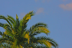 Vibrant Palm Tree wit Partly Cloudy Sky