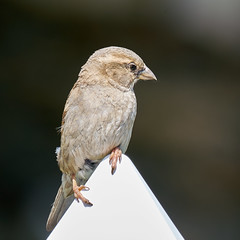 House sparrow in our yard