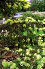 """Cincinnati - Spring Grove Cemetery & Arboretum """"Ceder Lake Fountain & Vase Through Pine Needles"""""""