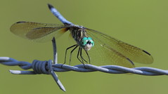 Blue Dasher (male)- Veteran's Memorial Park