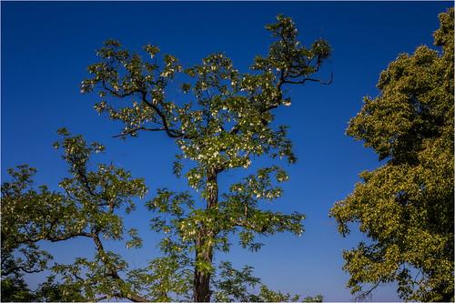 Robinie, Baum des Jahres 2020