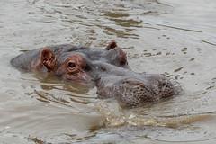 Hippo Surfacing