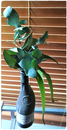Eucalypt leaves in an old wine bottle, Canberra, ACT