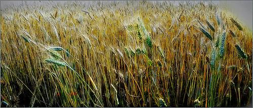 Blé dans la campagne de Dolembreux, Sprimont, Belgique