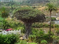 Icod de los Vinos (Santa Cruz de Tenerife)