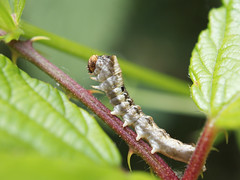 Peach Blossom caterpillar - Thyatira batis