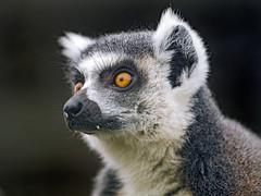 Portrait of a lemur