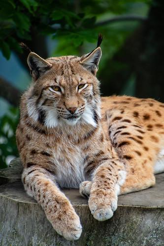 Lynx - Assling - Osttirol - Österreich