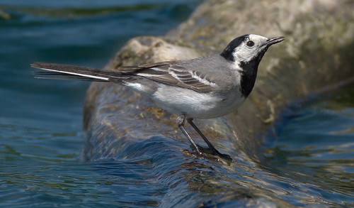 White Wagtail / Bergeronnette Grise (2/2) - big crop in 2K