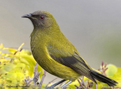 Bellbird 'Korimako'