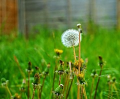 A Dandelion fluff swaying about..