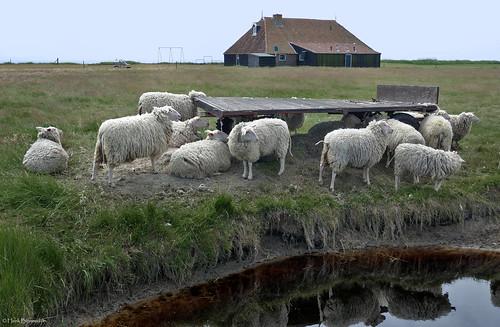 Terschelling: Wierschuur sheep
