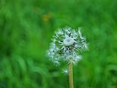 Dandelion idea of symmetry