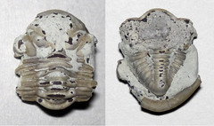 Tricopelta breviceps (fossil trilobite) (Upper Ordovician; Caesar Creek Lake's emergency spillway, Ohio, USA)