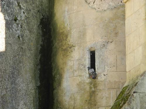 Palombes (pigeons ramiers) / Ringeltauben / вяхири