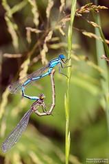 Demoiselles anisoptères