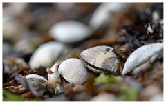 clam shells...