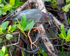 Little Green Heron Hunting