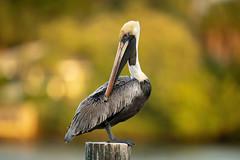 Photogenic Pelican