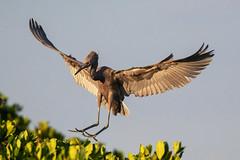 Juvenile Reddish Egret Landing