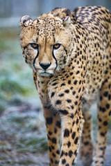 Cheetah looking a bit carful