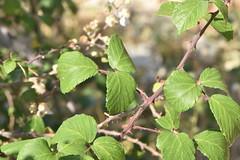 Rubus ulmifolius 20-05-30 04