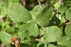 Rubus ulmifolius 20-05-30 03