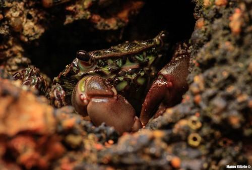 Pachygrapsus marmoratus