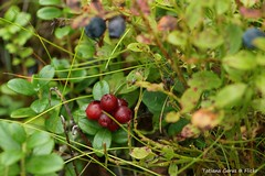 Lingonberry in the Scottish birchwood. Брусника
