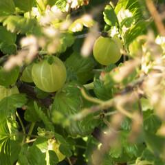 Inside The Gooseberry Bush