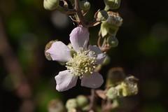 Rubus ulmifolius 20-05-30 01
