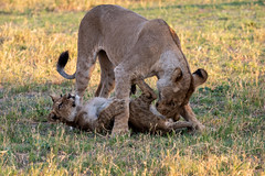 Löwin mit Jungem / Lioness with Cub