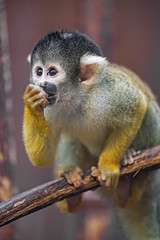 Squirrel monkey on the branch