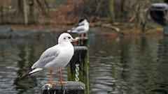 Seagulls, Hyde Park, London, England