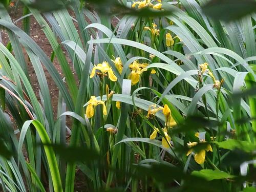 Sumpf-Schwertlilie (Iris pseudacorus) (1)